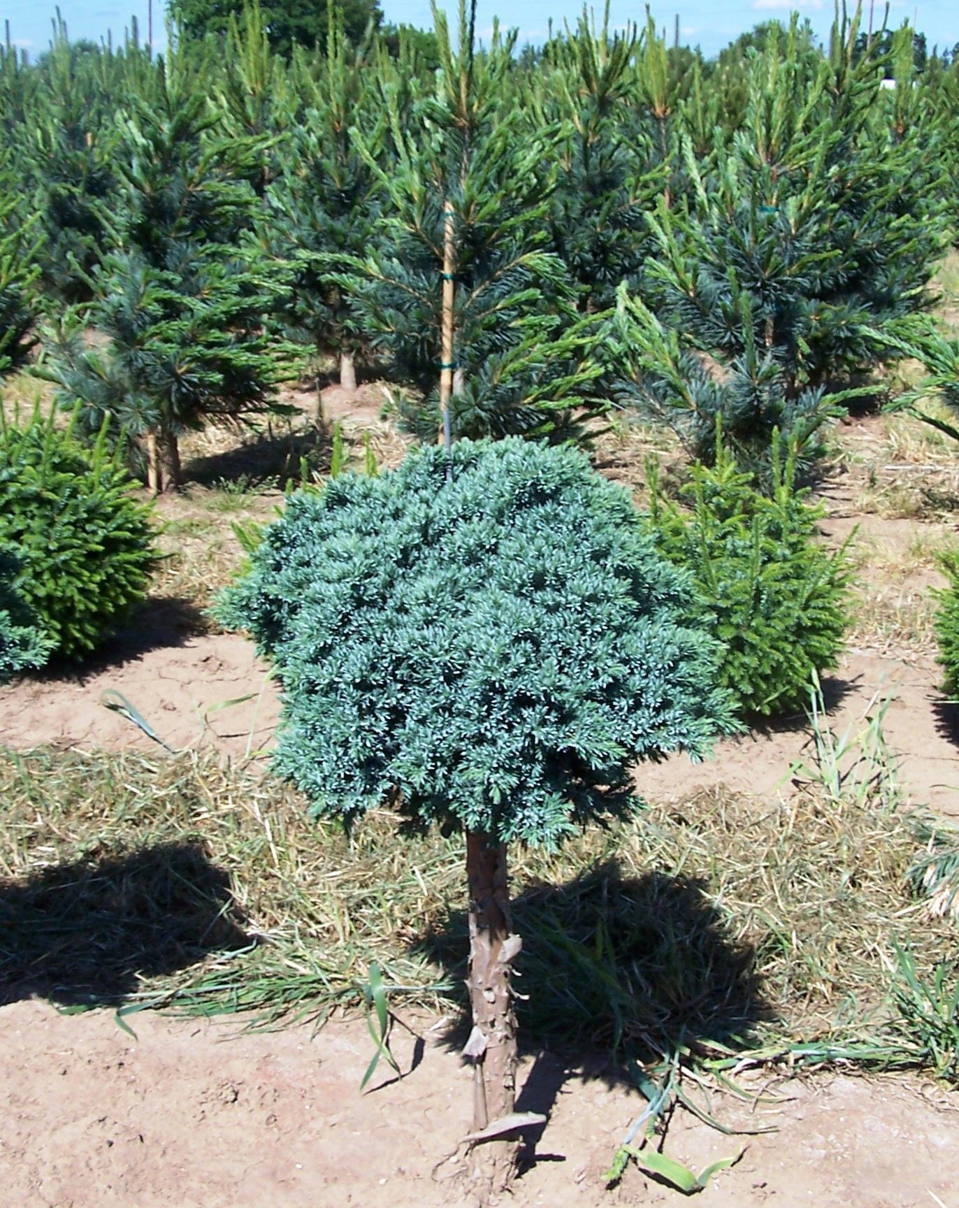 Blue chip juniper bing images for The juniper