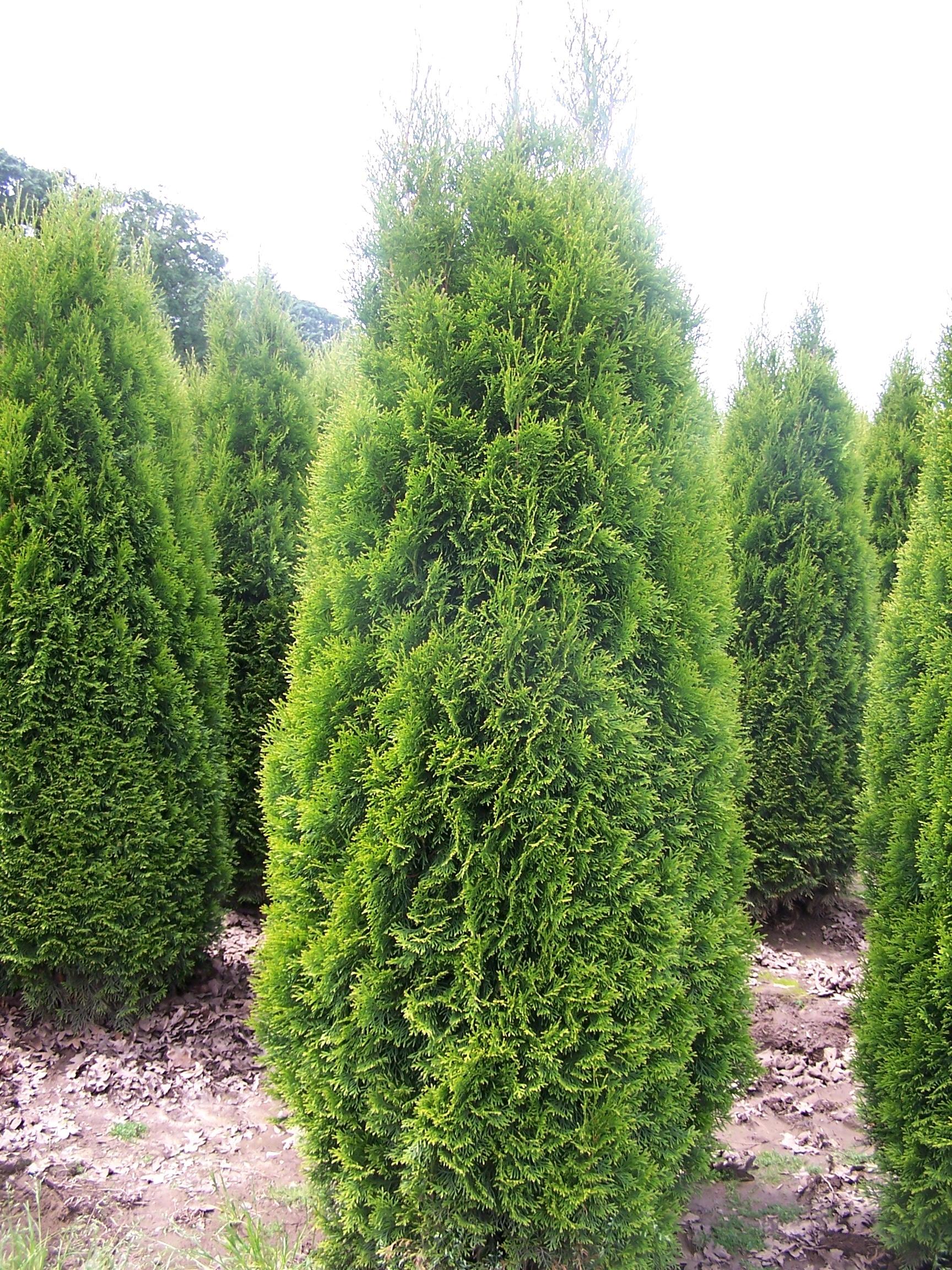 Thuja Plicata Green Giant Quotes